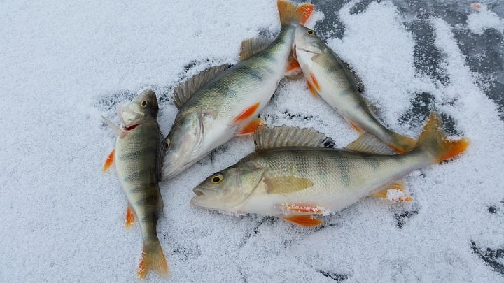 Ice Fishing Perch The Right Way In 2020 Tips & Tricks