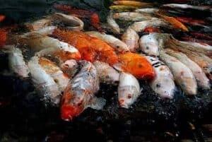 Can you eat koi fish?